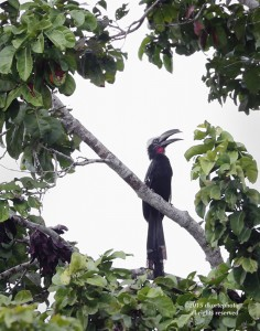 White-crested hornbill calls from forest edge.