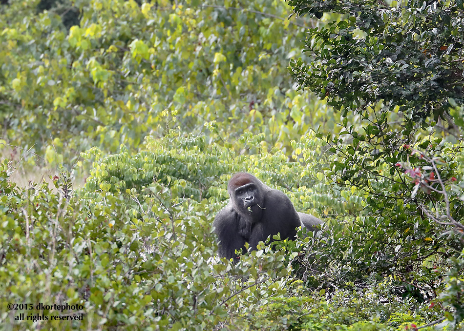 A silverback, surprised while feeding along a track near Ivinga Station.
