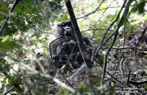 A blurred picture of a stressed female gorilla screaming for help from her silverback.