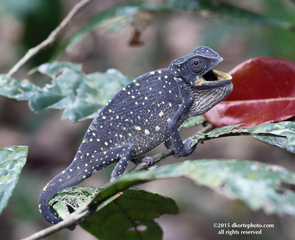 ChameleonLoango_0098_DKorte
