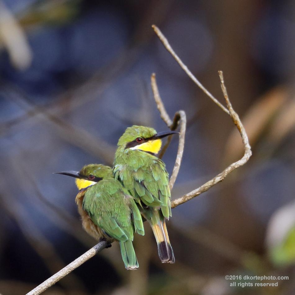 Bee-eaterPair_1225_DKorte