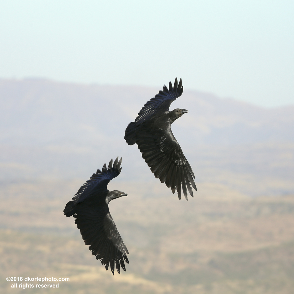Fan-tailed Ravens. A pair of ravens play on a rising thermal as the valley warms below Lalibela.