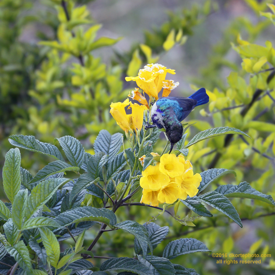 Variable sunbird. Metallic blues and greens reflect in the sunlight as a sunbird searches for nectar among flowers on a hillside in Lalibela.