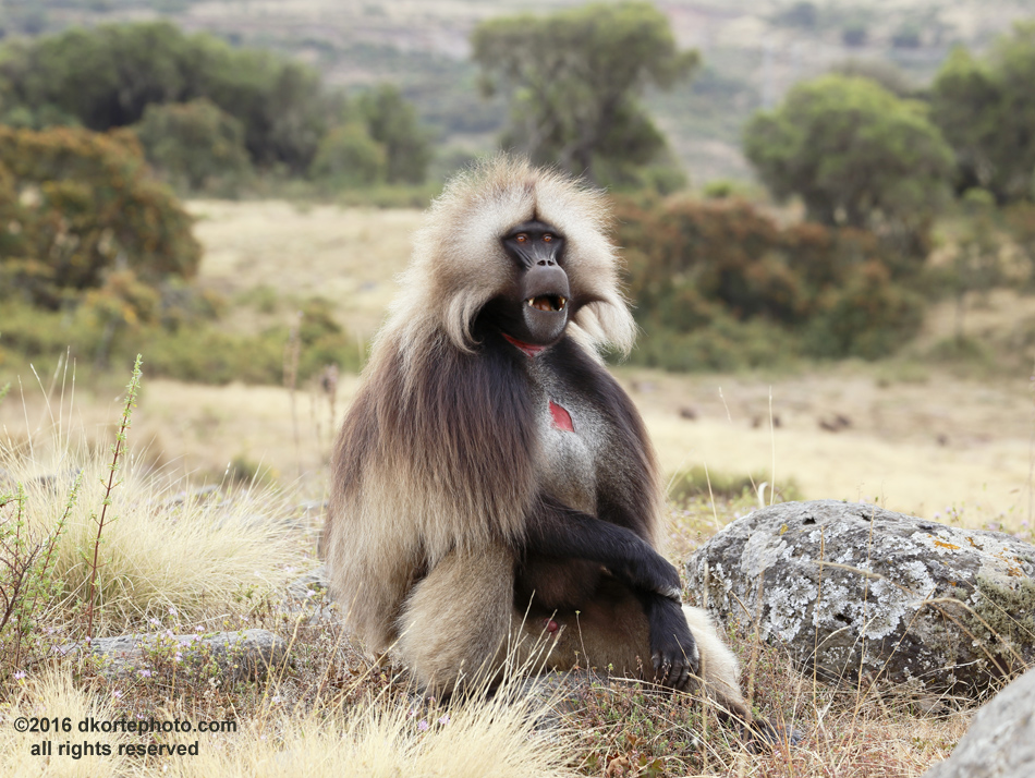 "Gelada monkey. A large male sits on a savanna in the Simien Mountain Highlands. The ""bleeding heart"" patch of bare skin on his chest signals his virility to the females in his family. Normally eating grass, they spend most of their day digging for roots during the dry season when the grass is less nourishing."