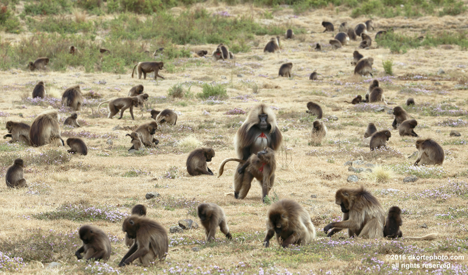 Feeding across a mountain savanna, Gelada monkeys spend their days grooming, feeding, and procreating. When night falls, they climb over the cliff edge to sleep, free of the threat of leopards and hyenas, clinging to the cliff face.