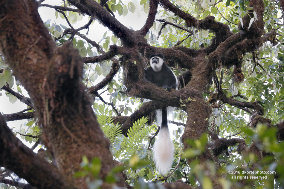 Living in the canopy of Harenna Forest, Colobus monkeys feed on leaves and fruits. They live in family groups of 3-12, a dominant male, and females with offspring.