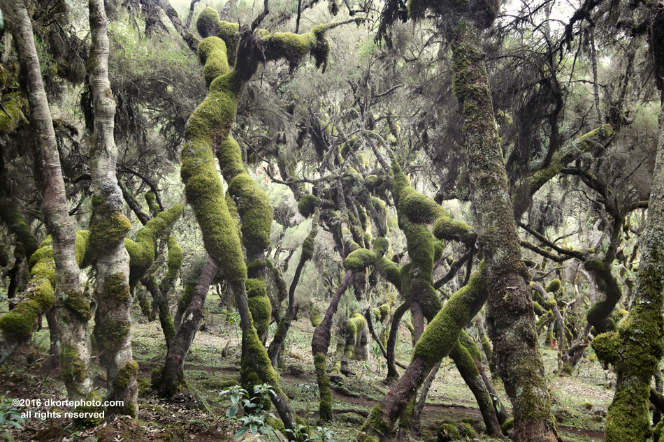 A Dr. Suess wonderland of moss and hanging lichens, the Erica Forest is found between 3200 and 3800 meters above sea level. Bale Mountains National Park.