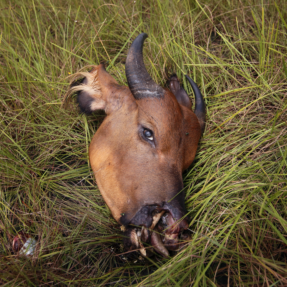 Forest buffalo, killed by poachers in Gamba, Gabon.