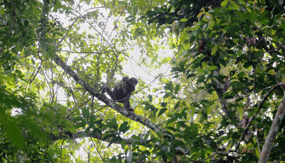 Gorilla juvenile crab-walks through the canopy to follow the gorilla family through the forest.