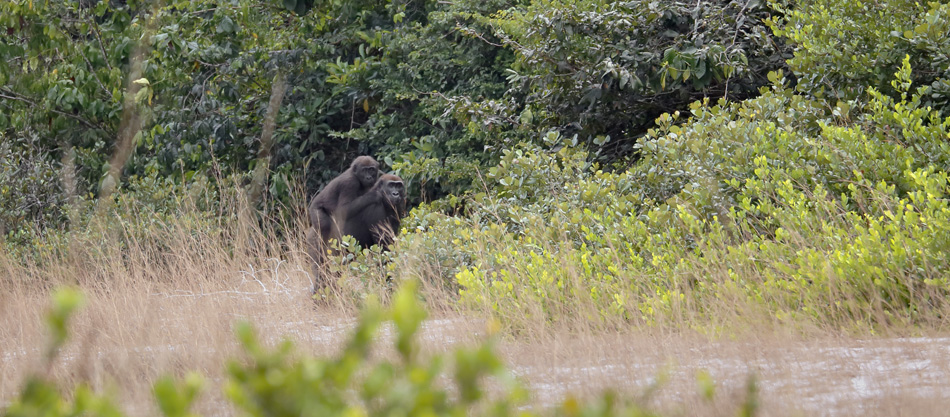 A mother and juvenile gorilla spotted on a savanna head for the cover of forest.