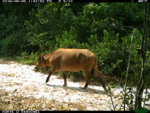 A Forest buffalo triggers a camera trap during the previous week.
