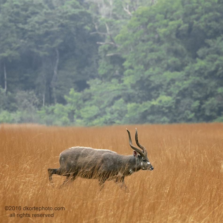 Sitatunga male cautiously crosses a narrow savanna.