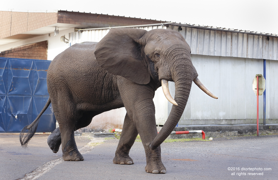 When in musth, Tchibanga's precarious temperament can be easily aggravated by a crowd of people running and laughing, flash pictures, and vehicles driving too close.