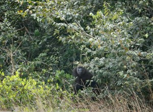 A gorilla spots my movement as I try to locate another gorilla approaching from behind.