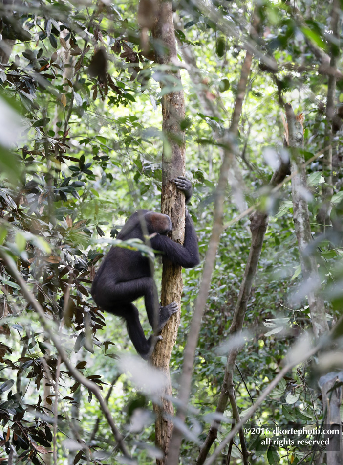 gorilla_4525_DKorte