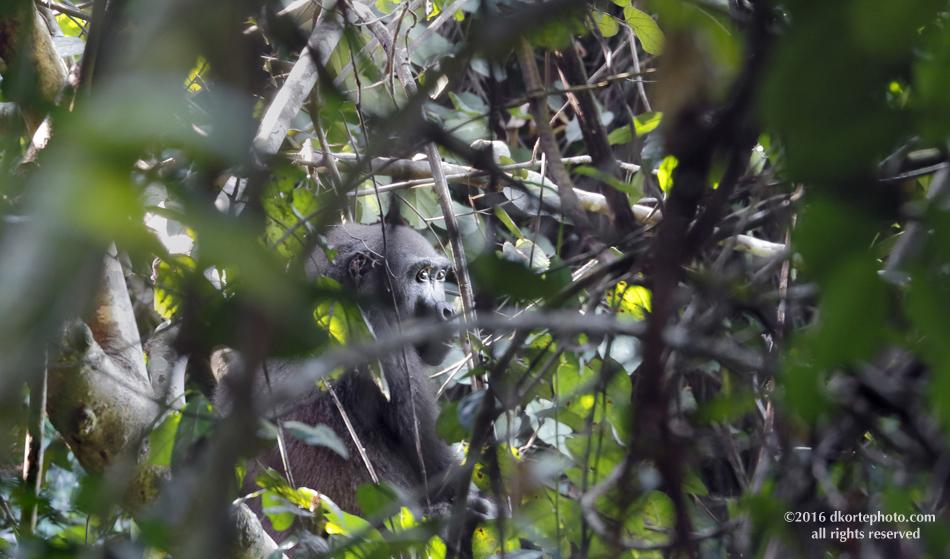 gorilla_4586_DKorte