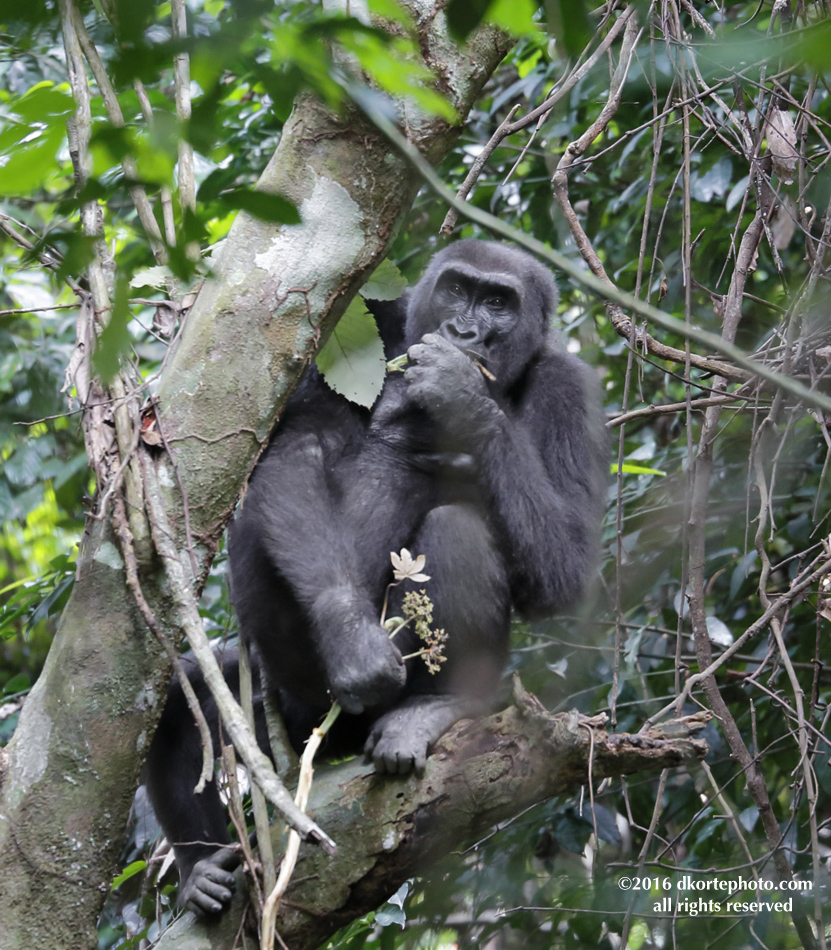 gorilla_4614_DKorte