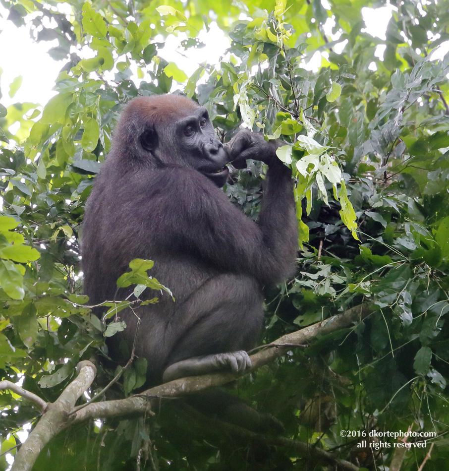 gorilla_4664_DKorte
