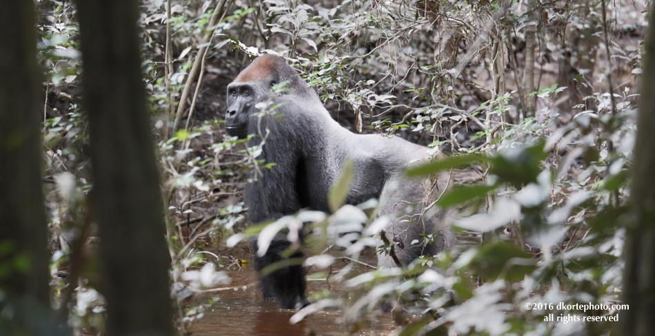 gorilla_4682_DKorte