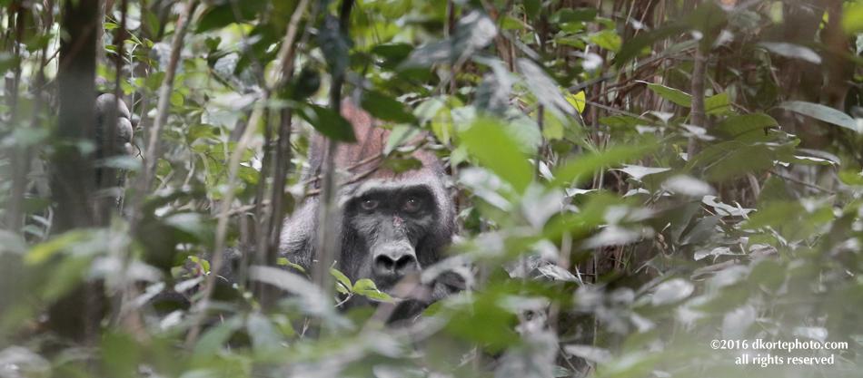 gorilla_4697_DKorte