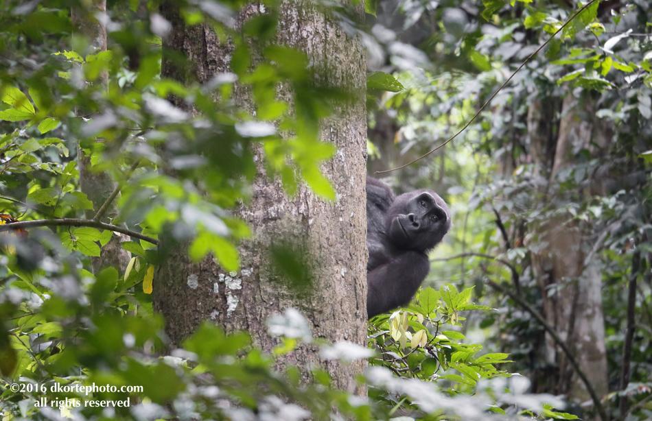 gorilla_4760_DKorte