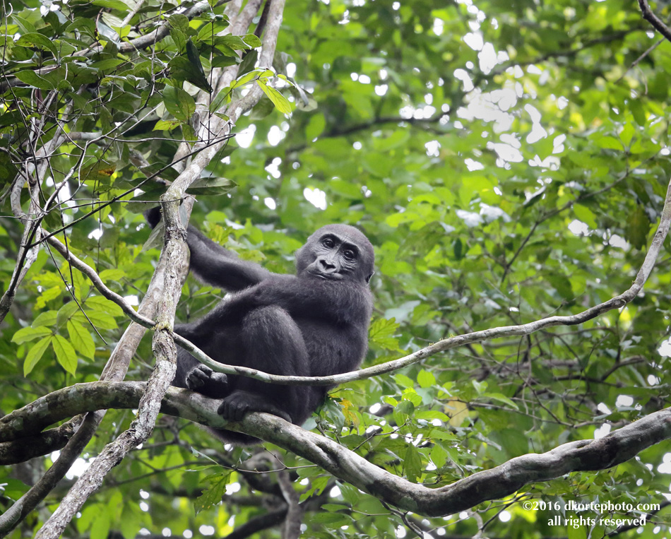 gorilla_4775_DKorte