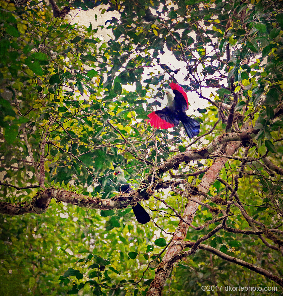 Day breaks in Sapo as a pair of Yellow-billed turacos alight in the canopy above camp.