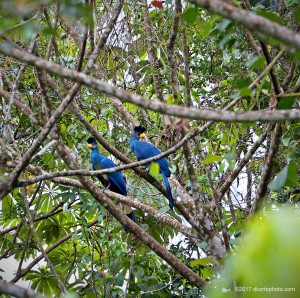 Before arriving at the park, it is possible to see wildlife like soaring eagles, hornbills, mongooses crossing the road, or these two Great blue turacos, feeding near a plantation.