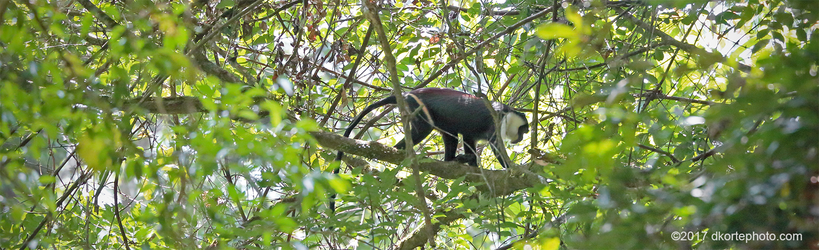 Diana monkey in the canopy of Sapo National Park.