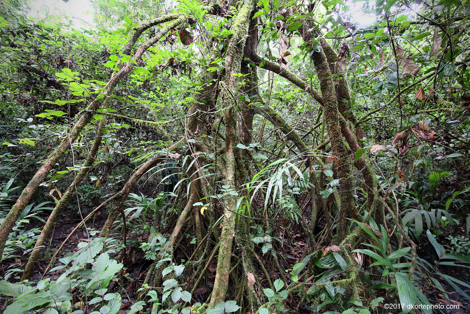 Uapaca trees are supported by stilt roots in Sapo National Park.