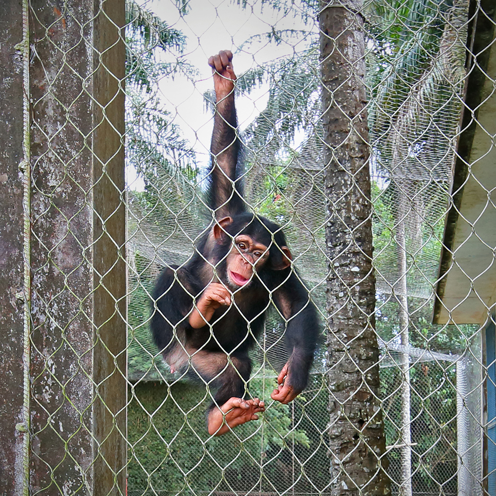 Baby chimpanzee, under the care of Liberia Chimpanzee Rescue.