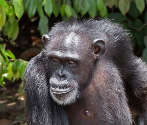Chimpanzee recovering from years of testing and trauma.