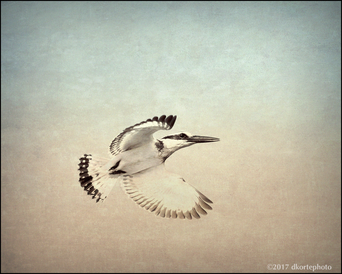 Pied kingfisher, a striking black and white robin-sized bird, passes over a footbridge.