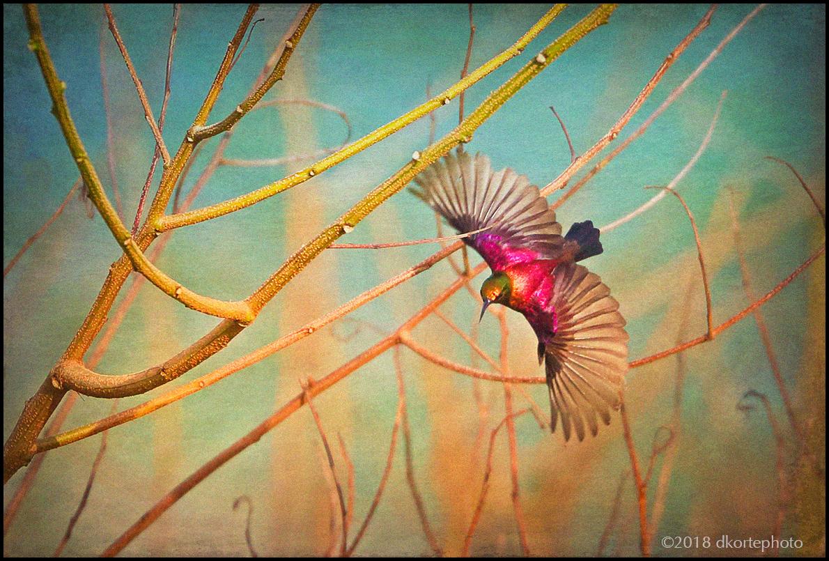 Copper sunbird, Cinnyris cuprea.