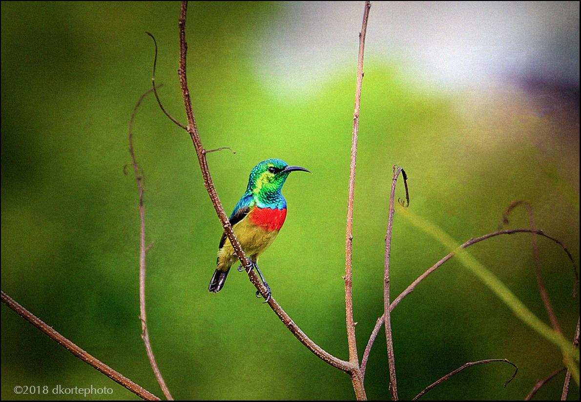 TinySunbird6172_DKortephoto