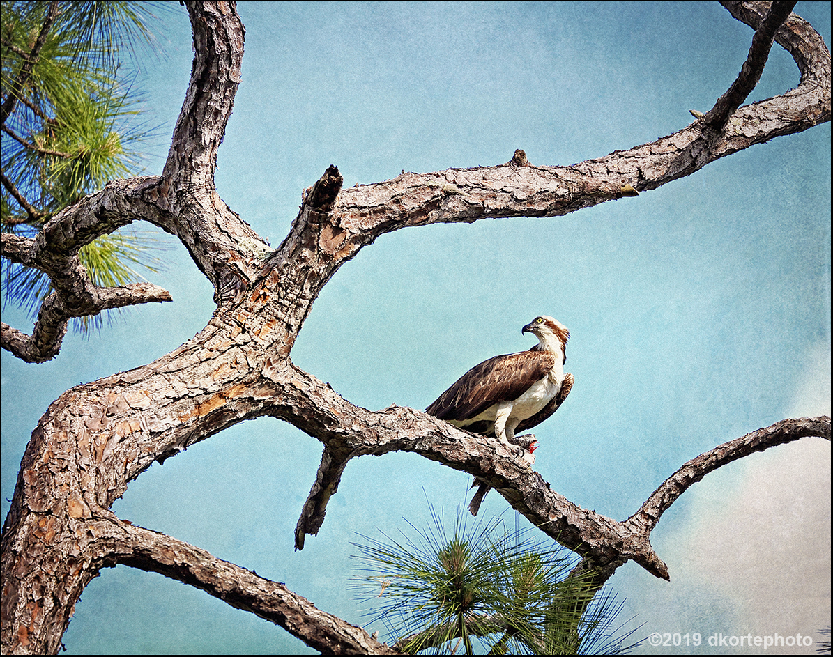 osprey_DKortephoto