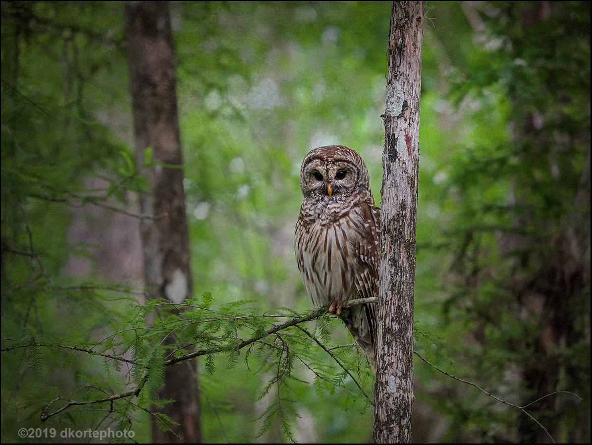 owl_DKortephoto