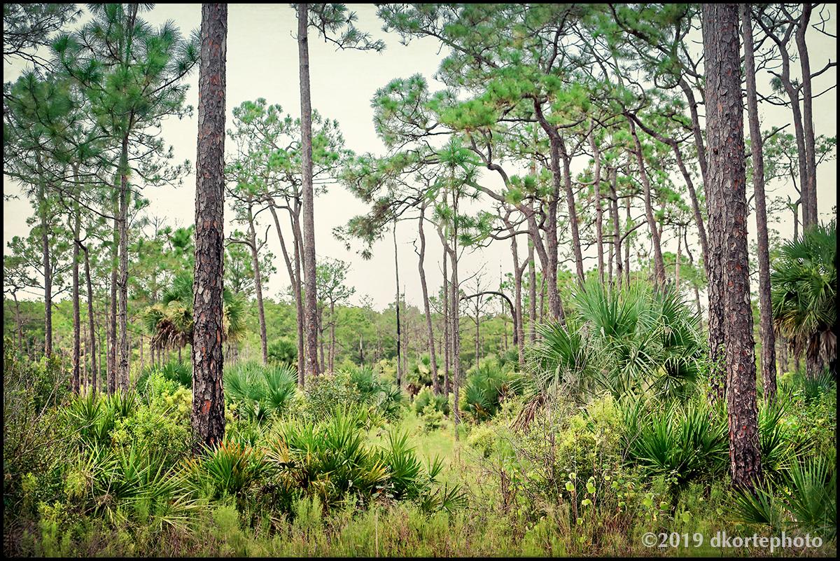 PineFlatwoods1393_DKortephoto